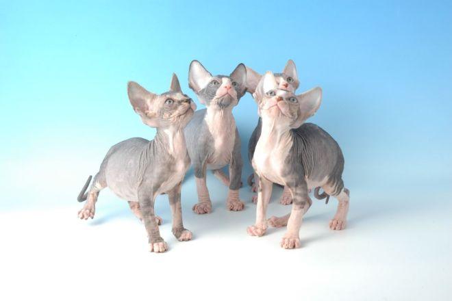 Сфинксы котята