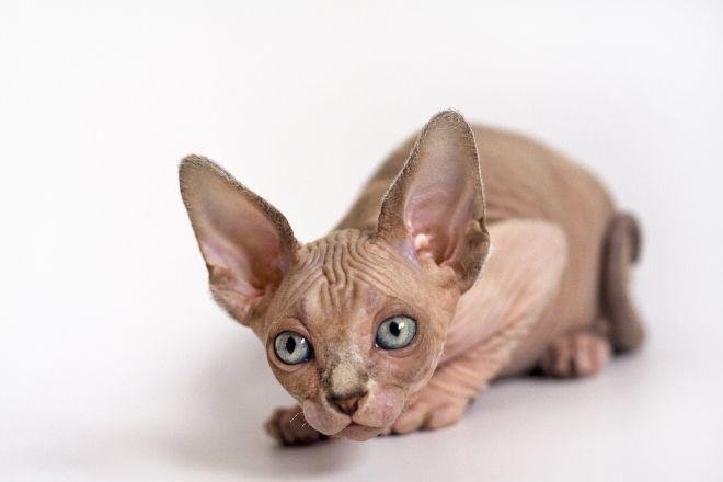 Котенок сфинкс
