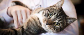 Осмотр кошки у ветеринара