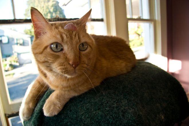 Шишка у кошки на голове
