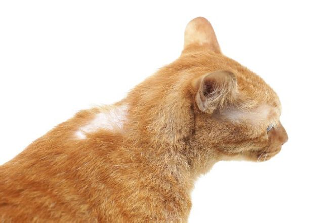 выпадение шерсти у кота