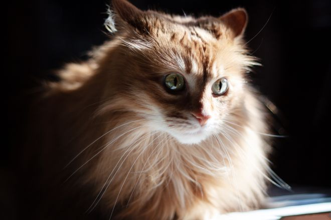 кошка с пышной шерсткой